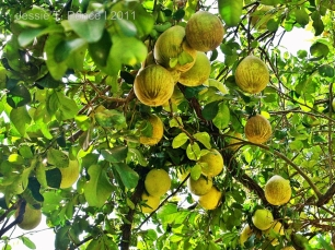 Pomelo fruits in a tree
