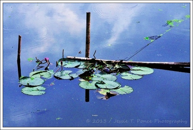 Lilies on a still lake