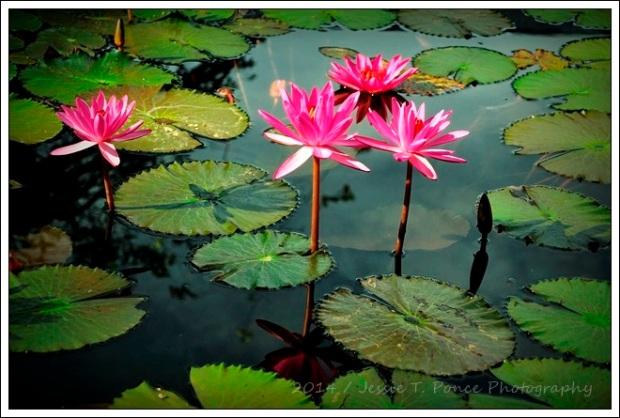 """""""Lotus Morning 7"""" / 2014"""