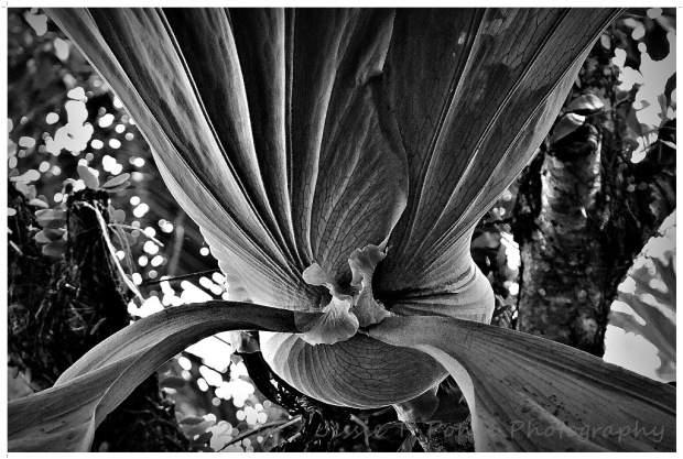 Staghorn Fern or Elkhorn Fern
