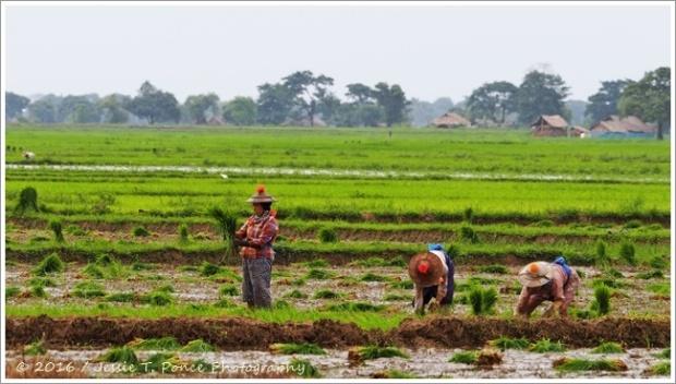 planting season in Myanmar