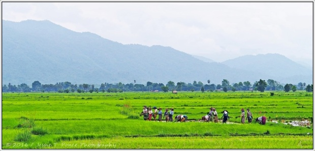 rice planting in Myanmar