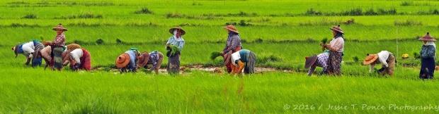 planting rice in Myanmar