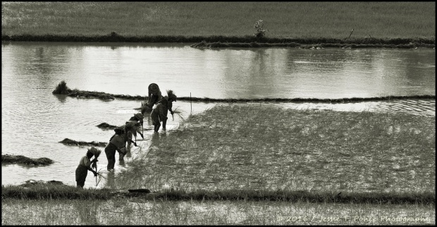 planting rice in Myanmar